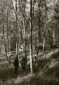 A birch seed stand on Bonskeid Estate