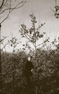 Laurence prunes a Woodland Heritage oak alongside two poor specimens