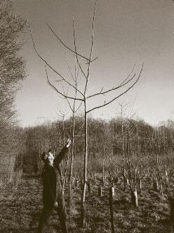 The astonishing growth of hybrid walnuts