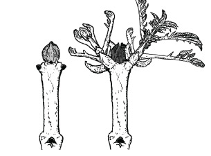 Figure 3  : The arrangement of buds on ash, like sycamore,will lead to forking if the terminal bud is damaged