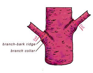 Figure 4 : Position of the branch-bark ridge and the correct pruning cut