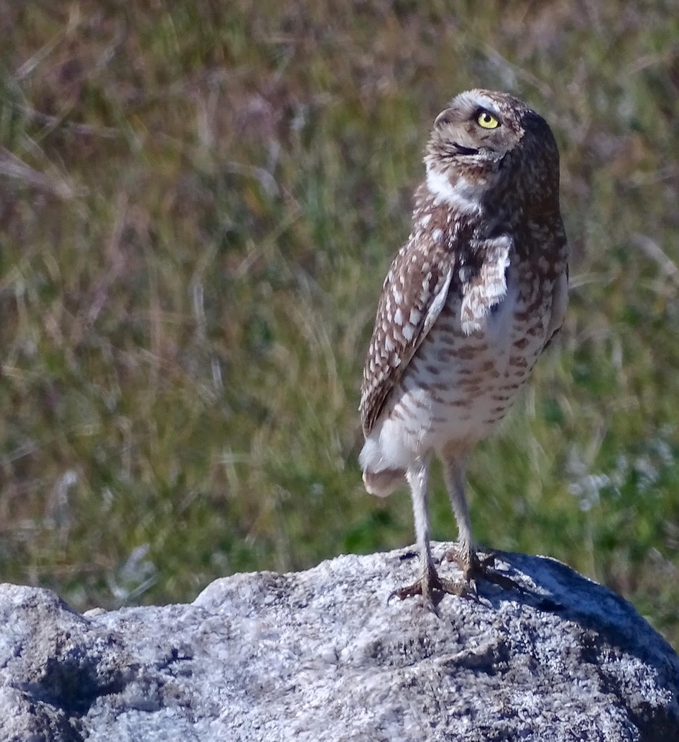 7.Burrowing Owl.jpg