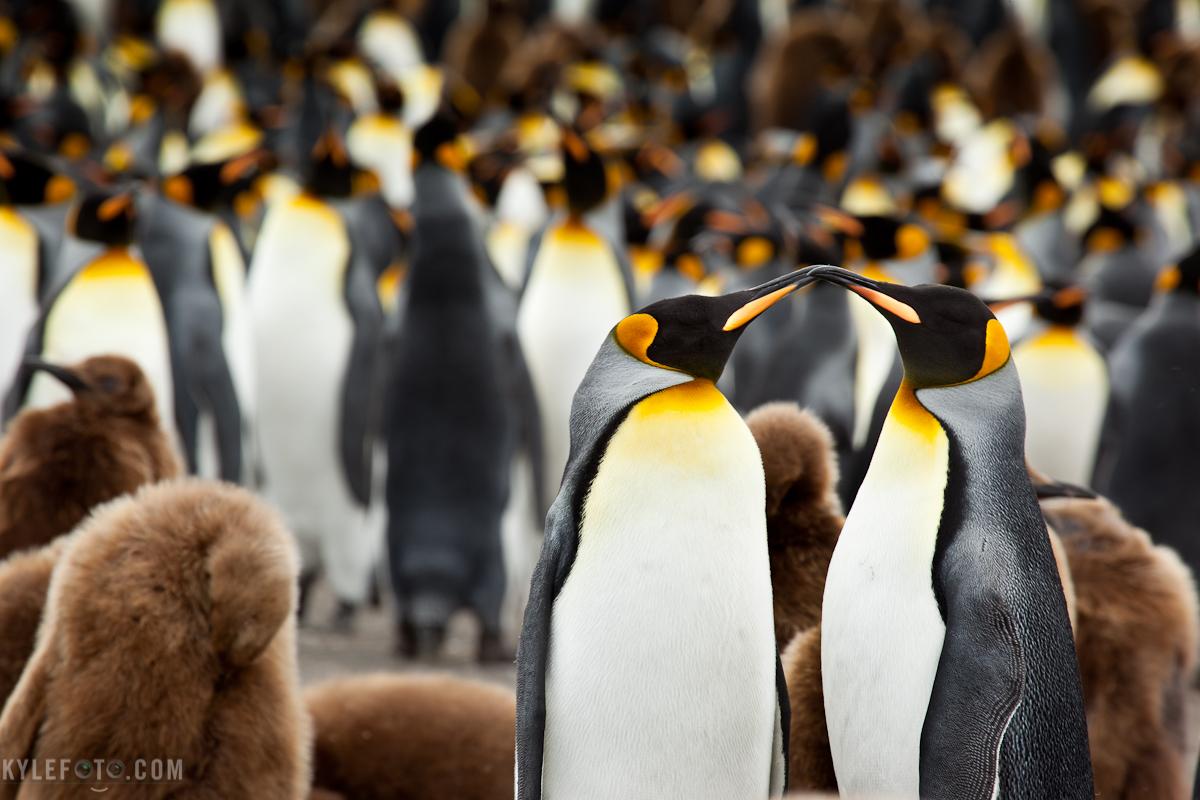 kingpenguin-1.jpg