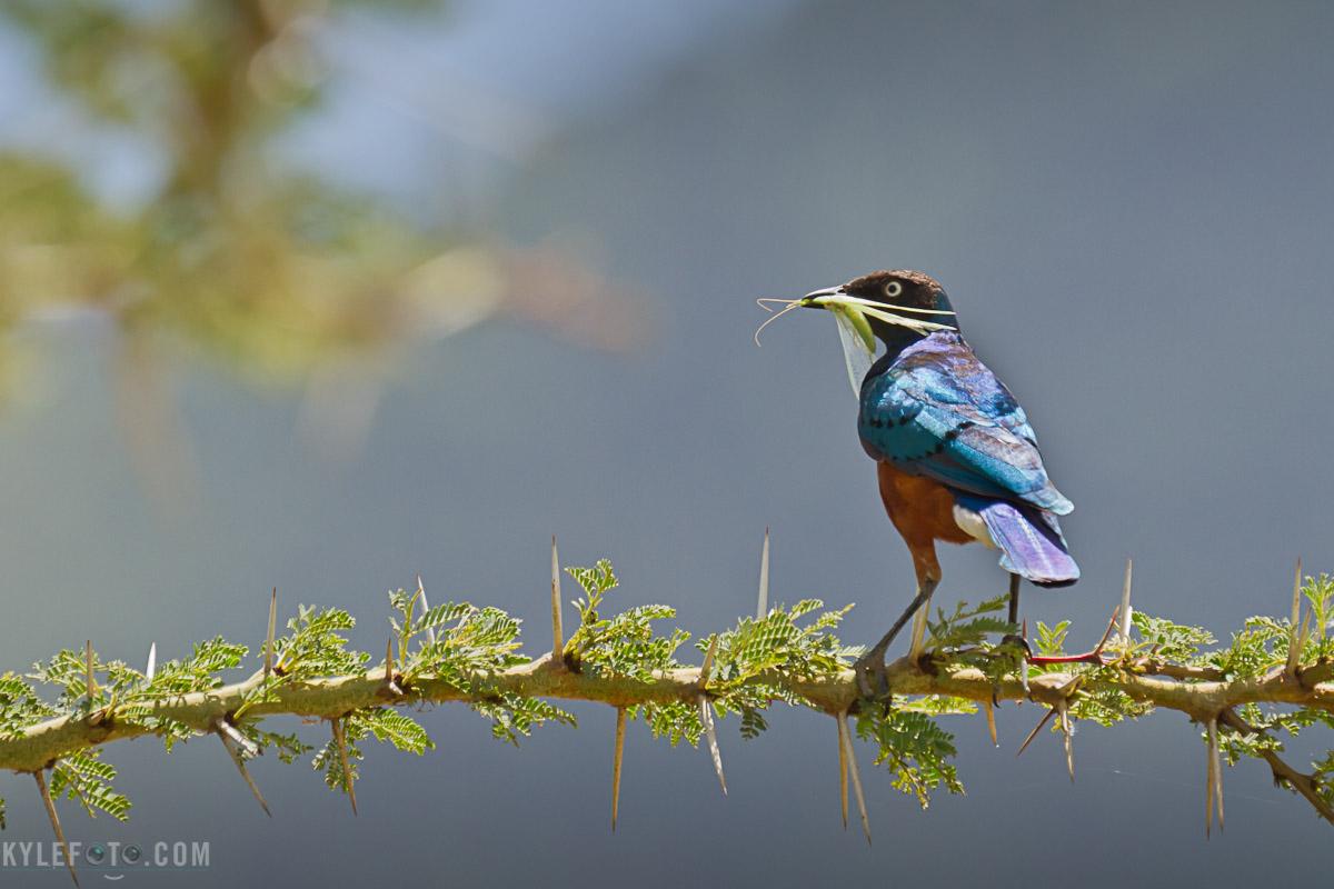 superb-starling-3.jpg