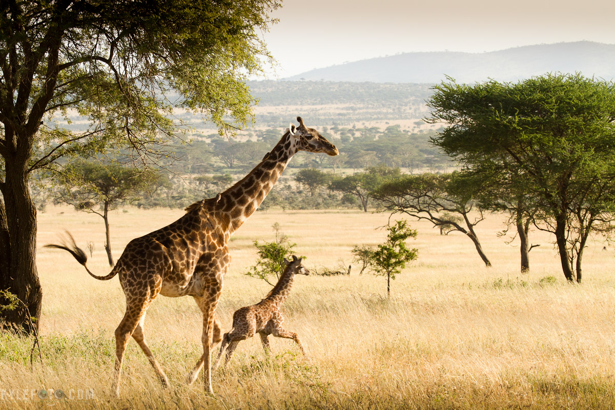 giraffe-and-momma-5.jpg