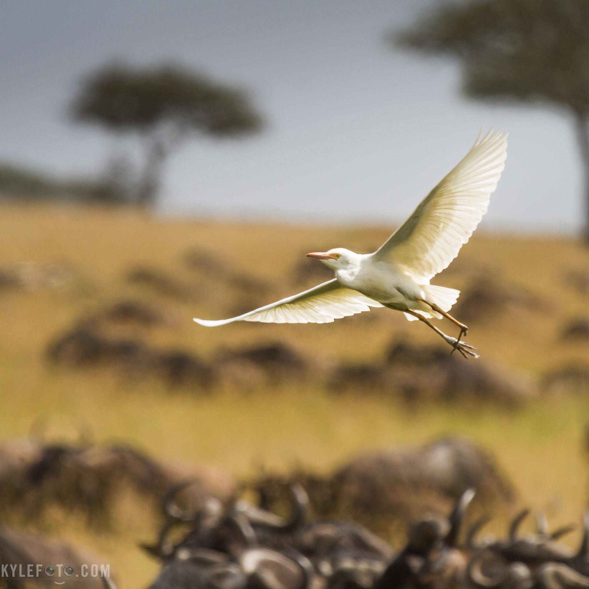 egret-on-the-wing-12.jpg