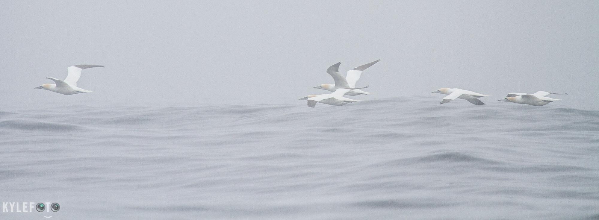 10Antecoste-Island-gannet06.jpg