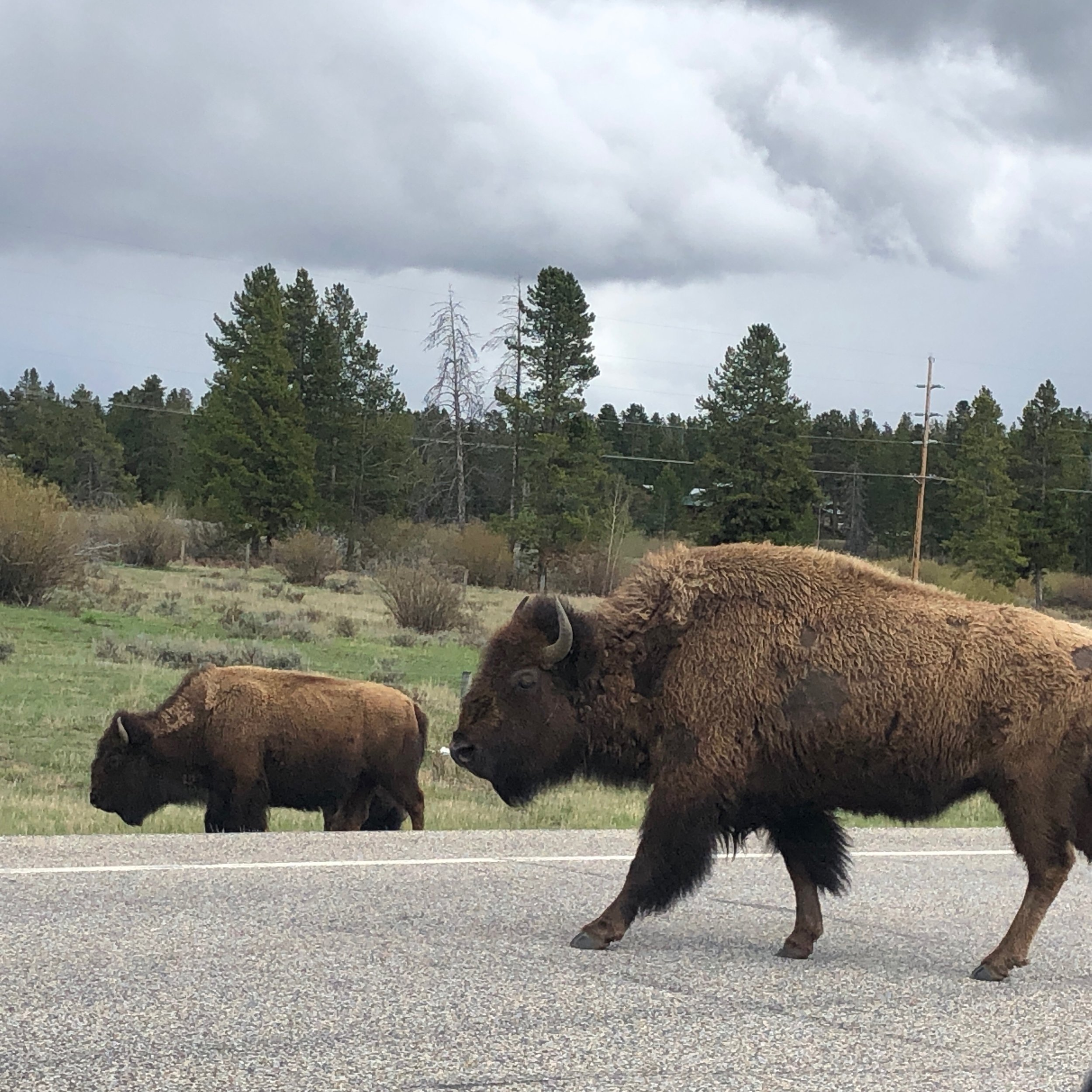 drive slowly, cause bison can move fast and be in the road before you know it.