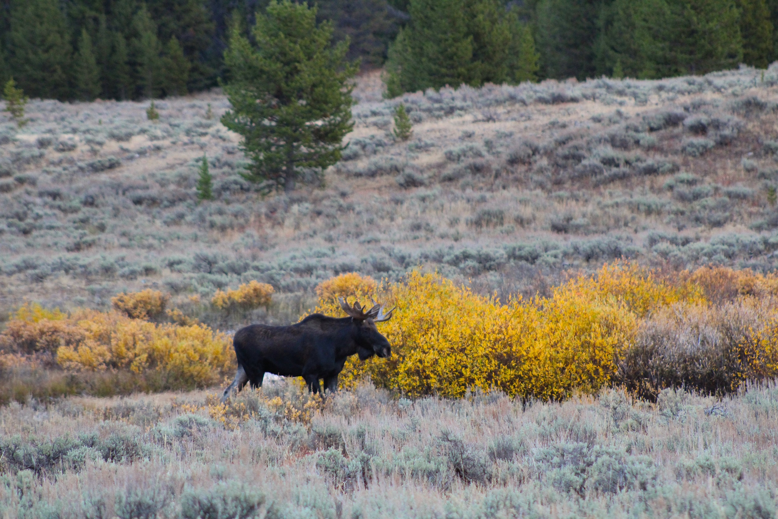 moose, in gallatin canyon.