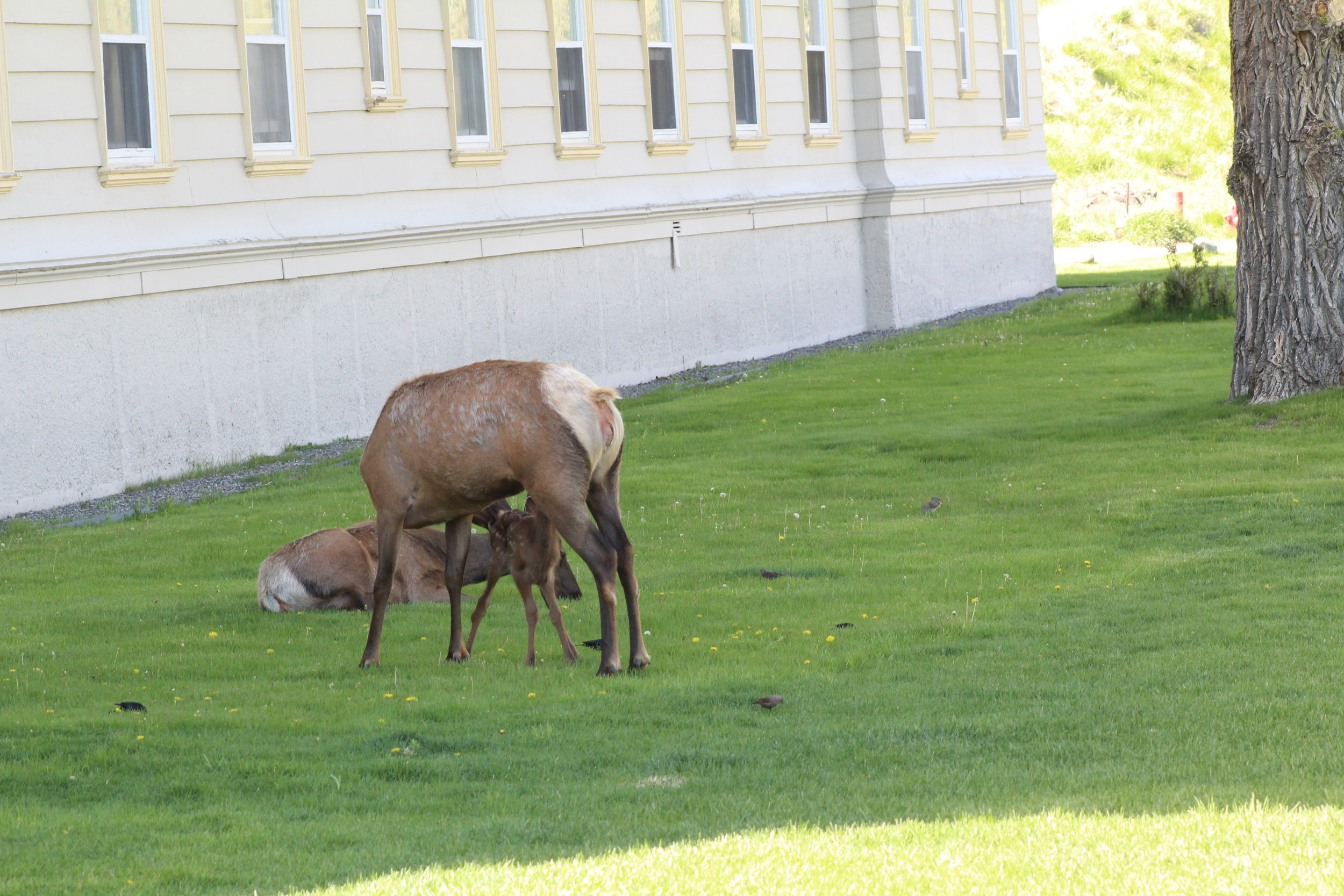 Elk, hanging out at Mammoth in Yellowstone.
