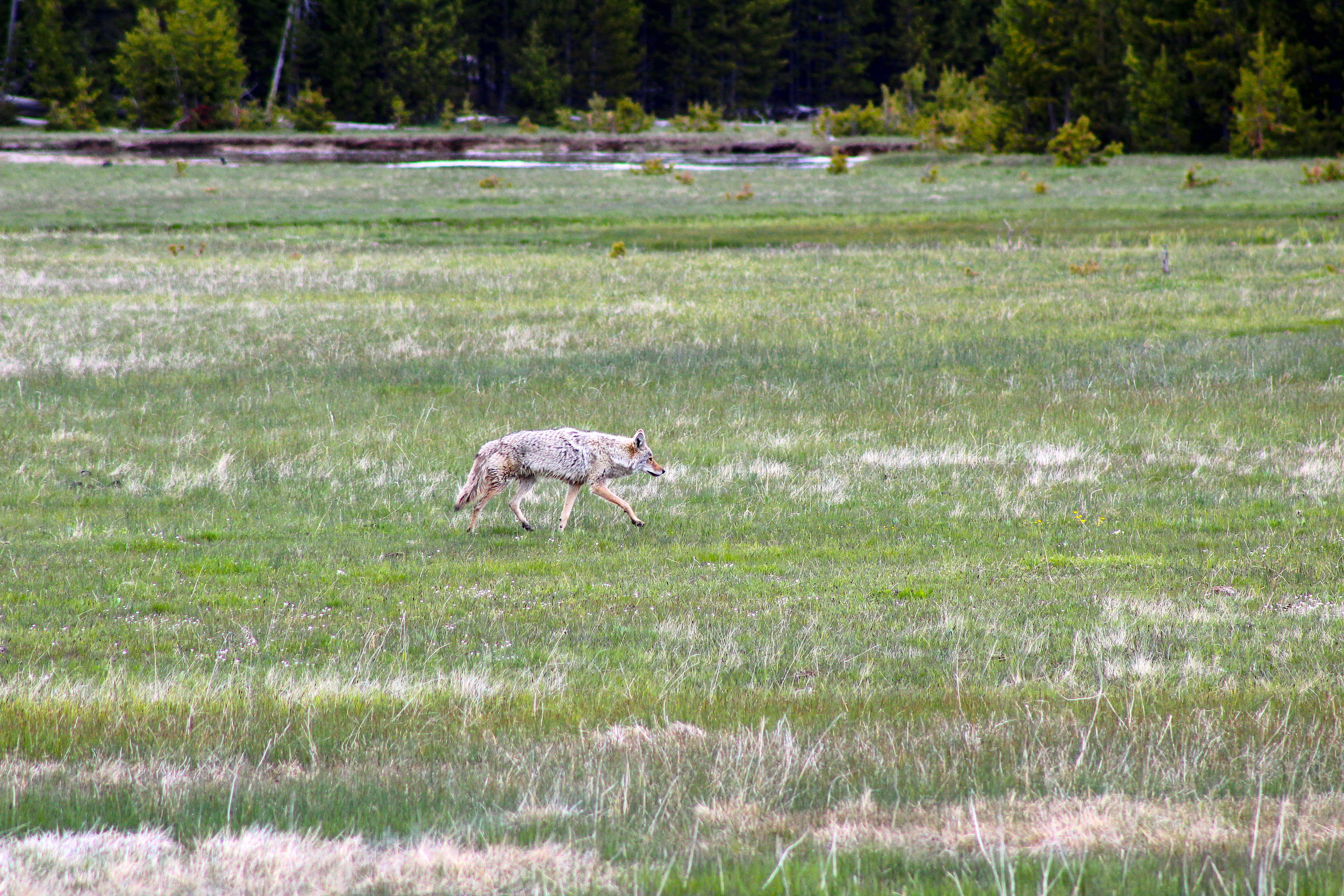 coyote. not wolf. coyote.