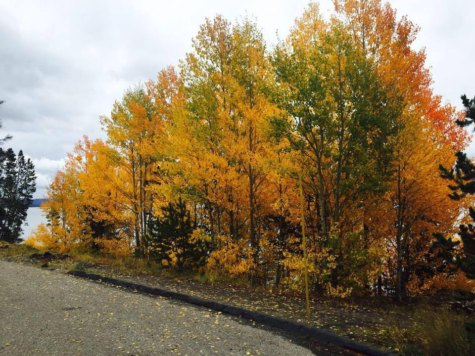 the aspens in full bloom. only in the fall.