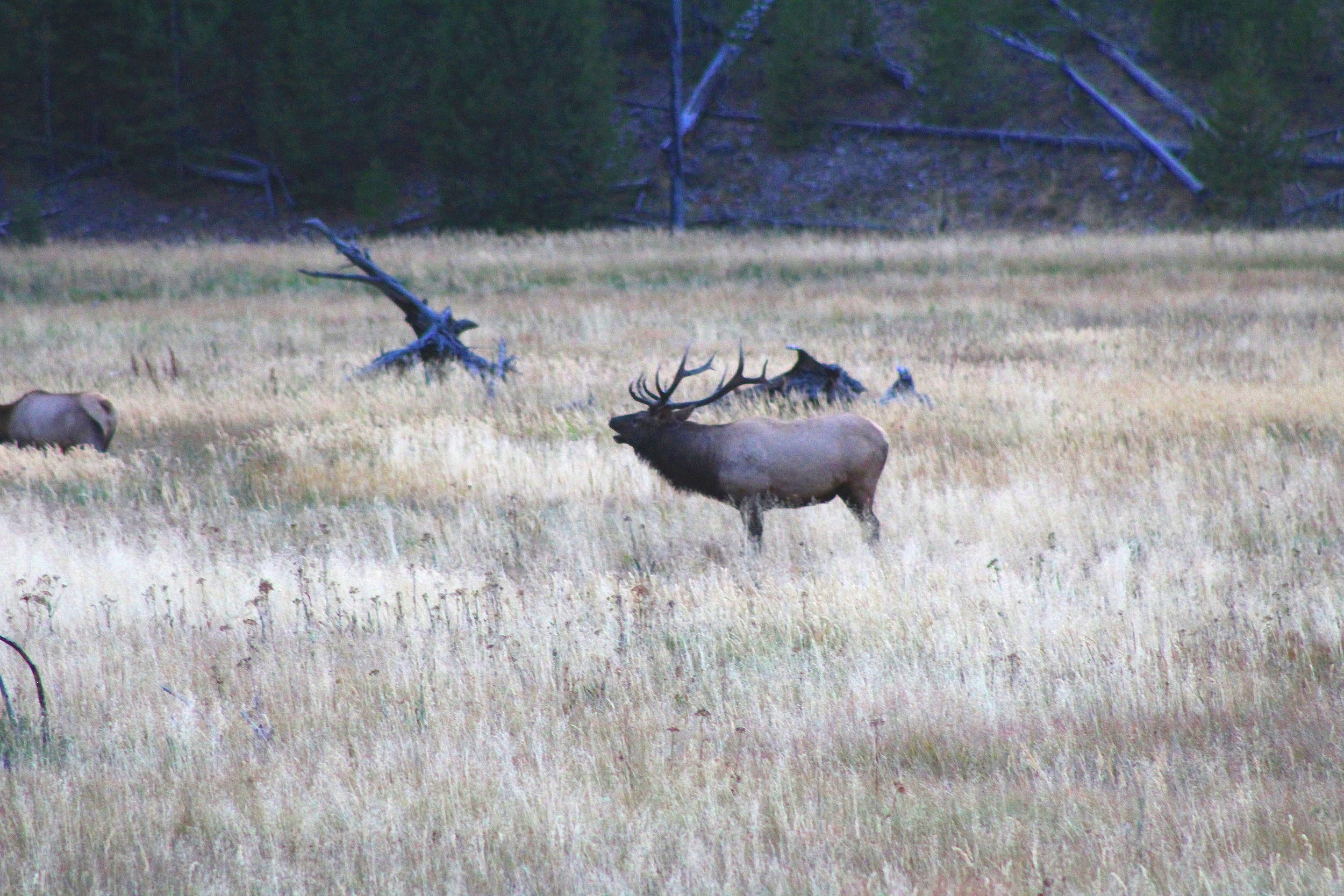 an elk during the rut. he was noisy.