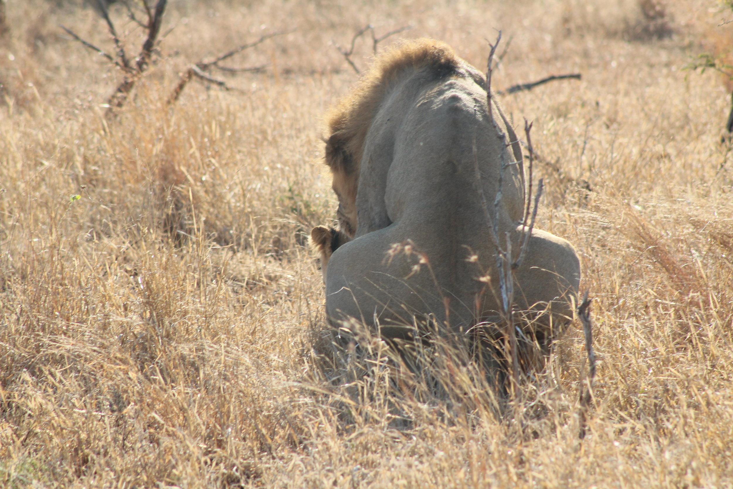lion sex 1.JPG