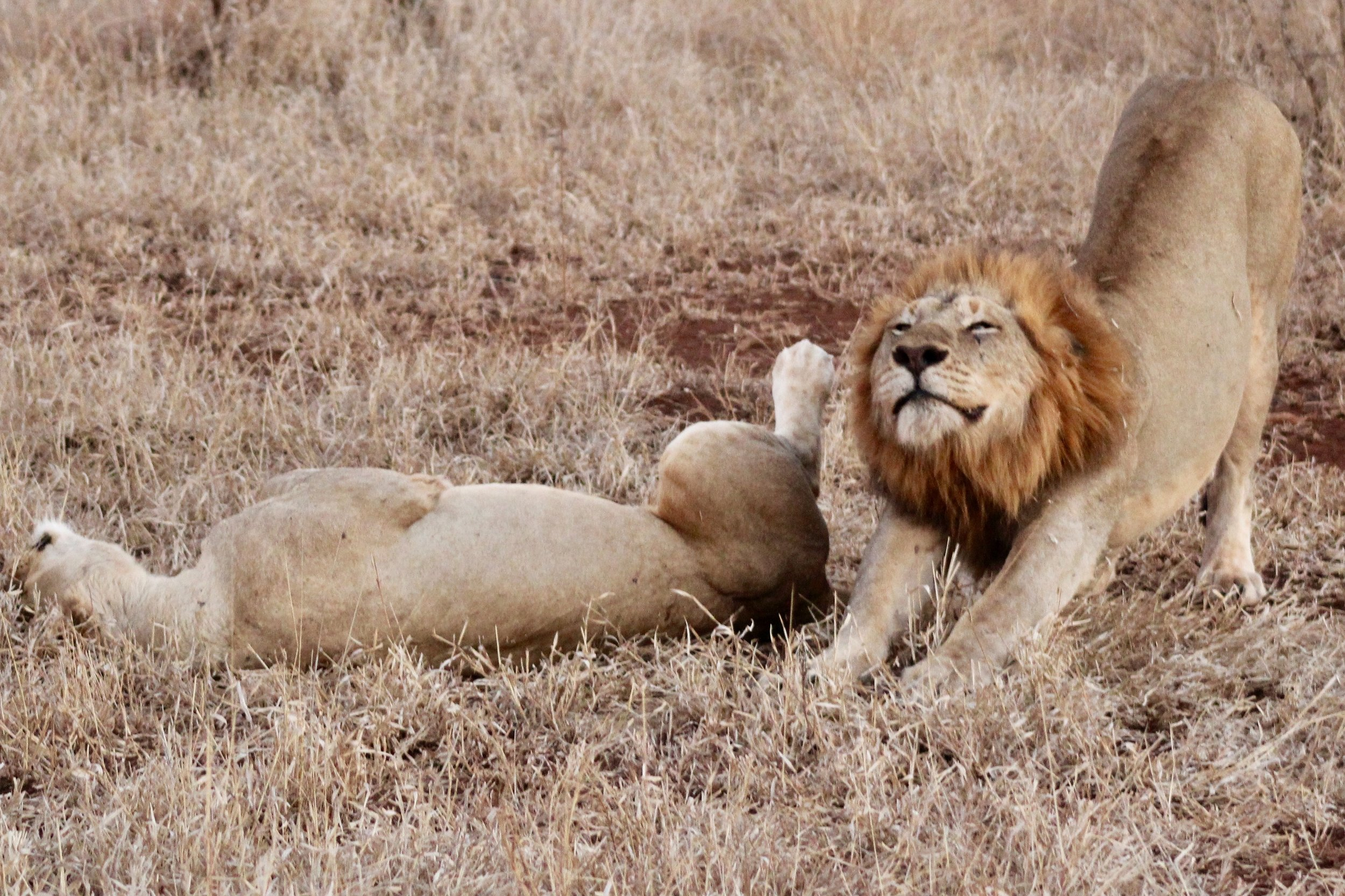 lion stretching like harps.jpg