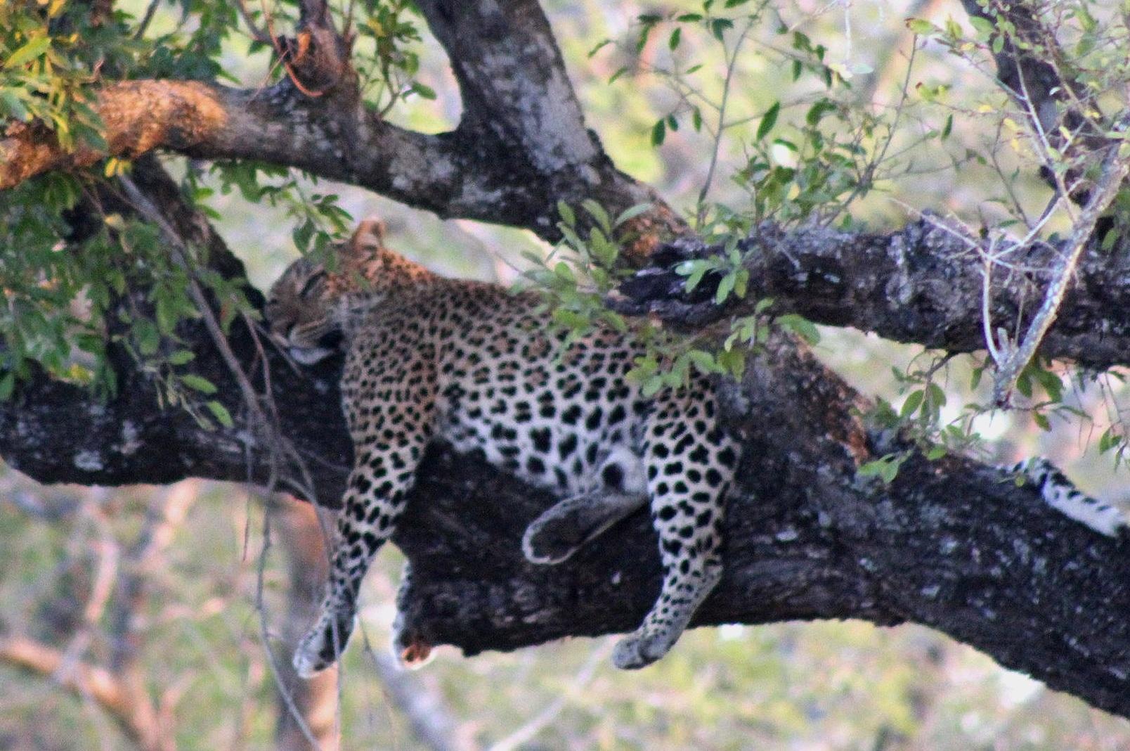 cheetah%2Bin%2Btree.jpg