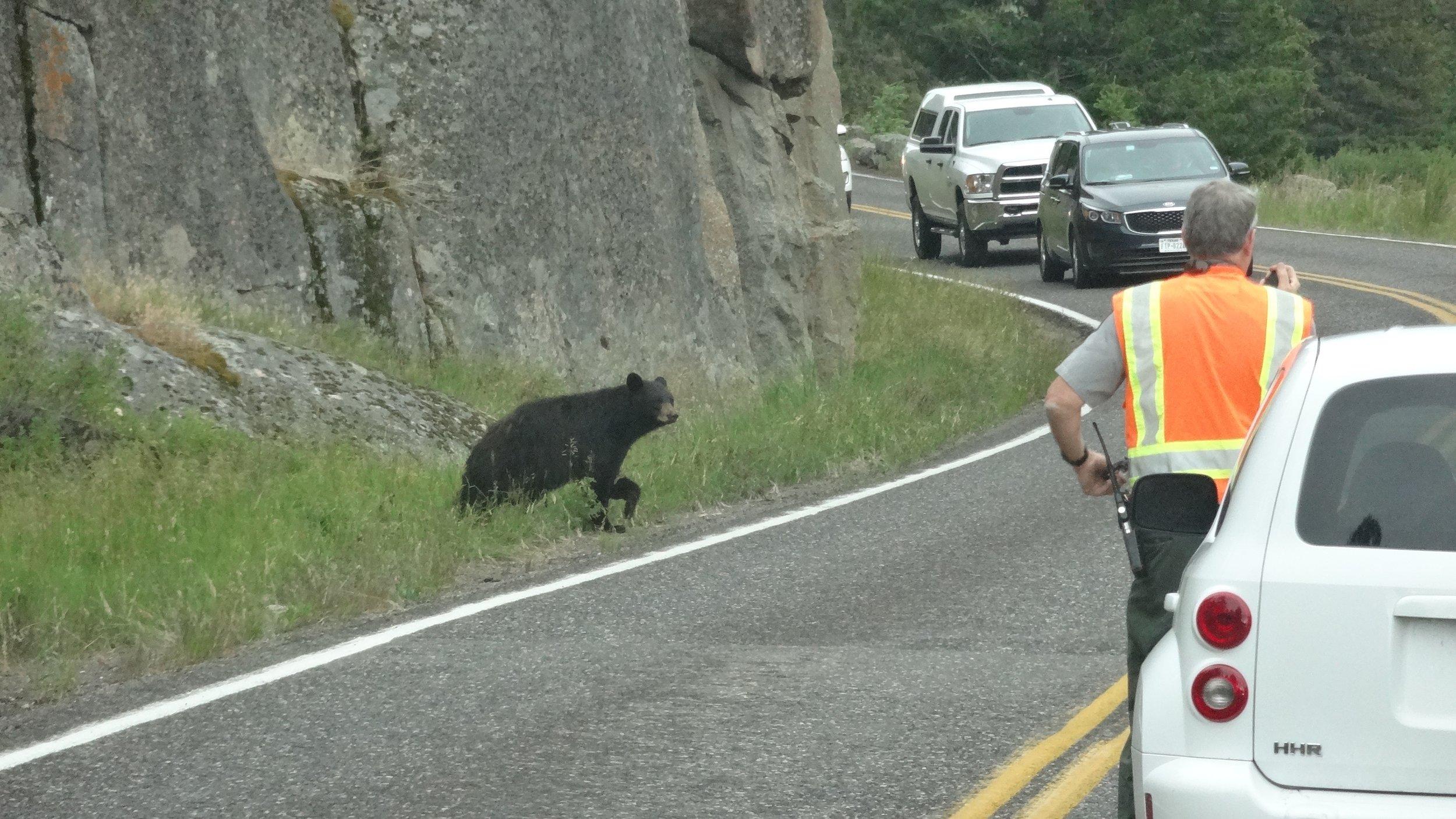 baby bear crossing road.jpg