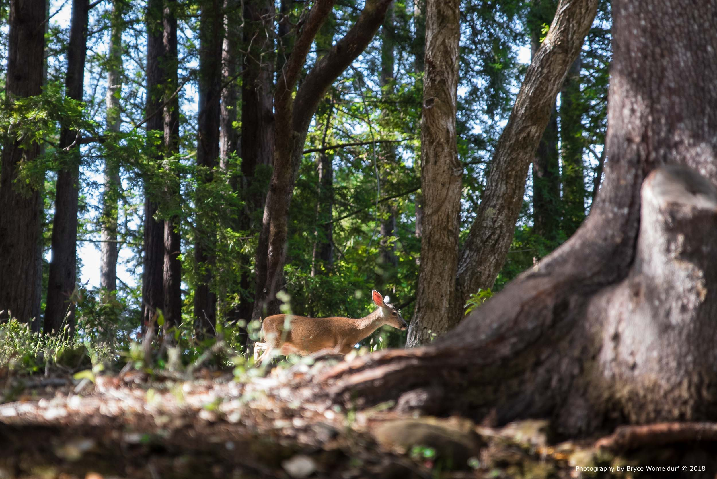 Wandering Dear | Huddart Park | Near Redwood City, California