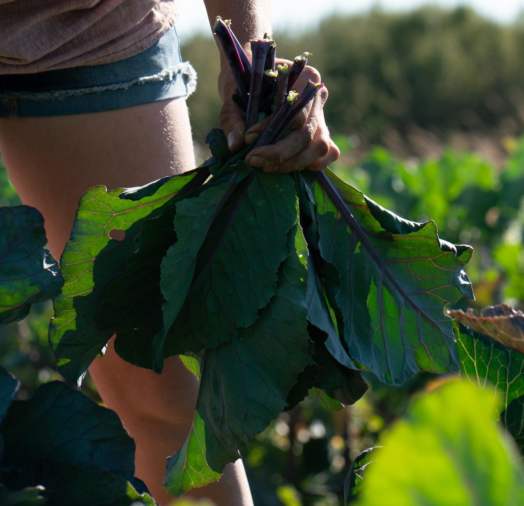 Collard Green Photo Credit Lou Karsen.jpg