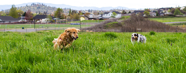 Dogs playing tag Dog Training Doggie Daycare The Laughing Tail Vancouver Washington