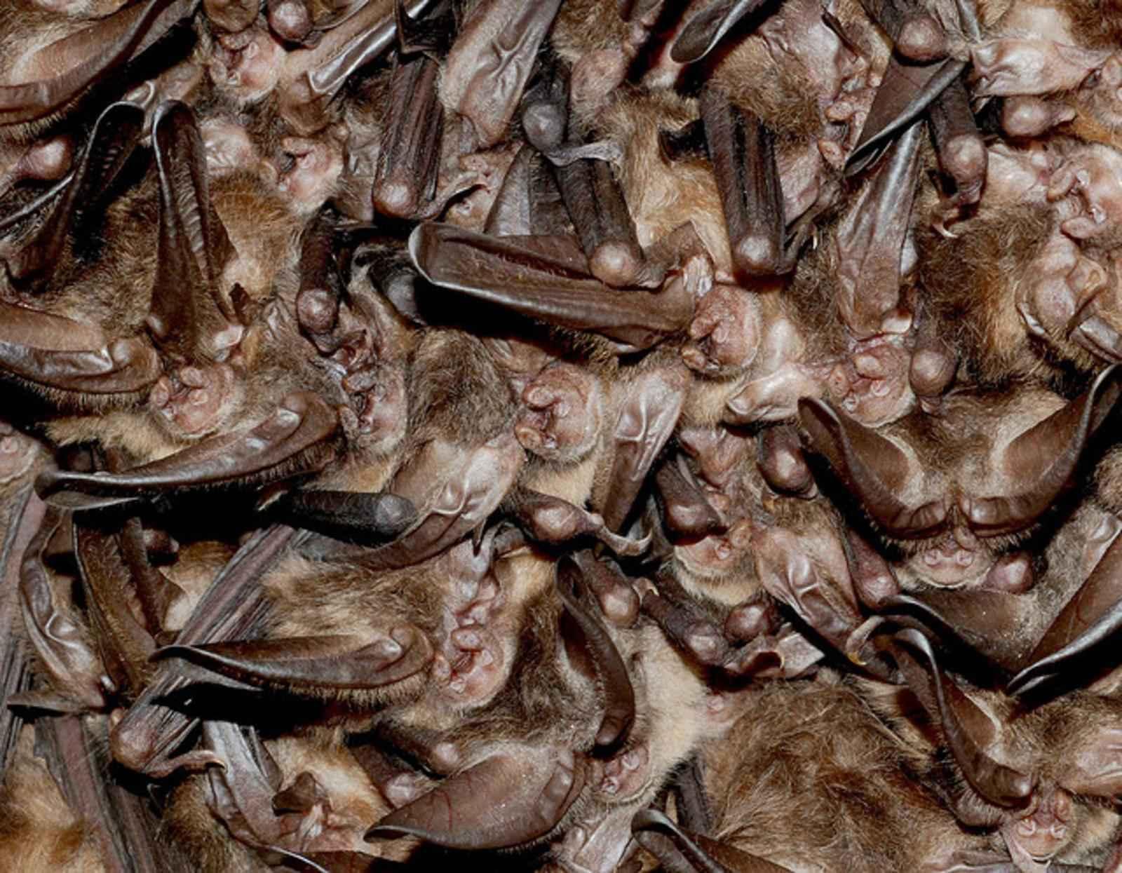 Cluster_of_hibernating_virginia_big_eared_bats.jpg