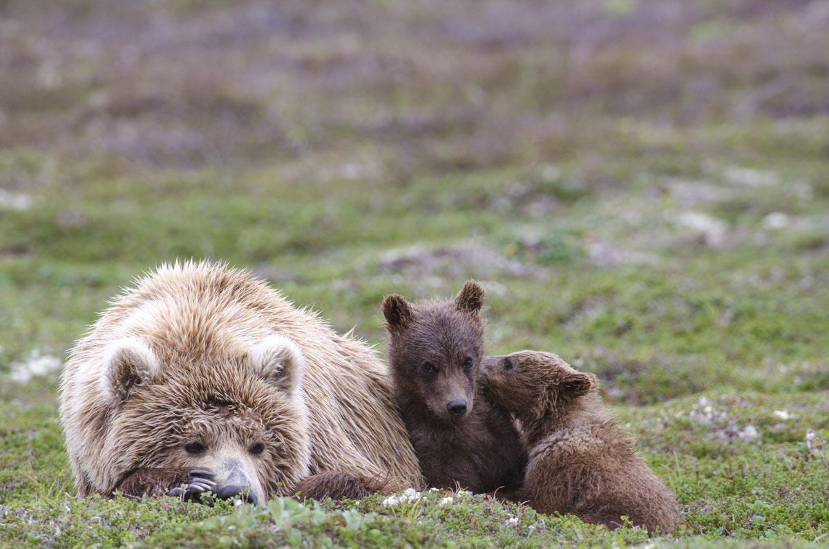 bears Female Cubs.jpg