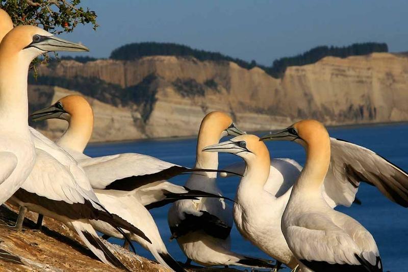 CK gannets.jpg