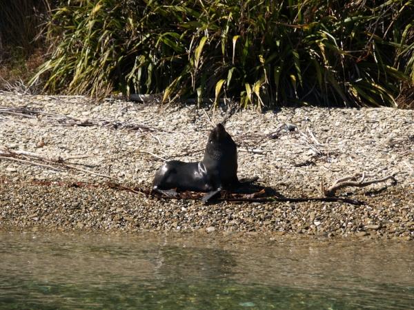 NZ Fur Seal Credit Sue Farley.jpg