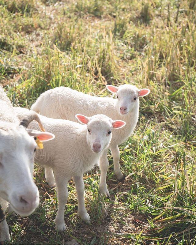 """Hur kunde jag äta sånnahär söta?! Jag fattar inte det. Hur kan någon? Vad gör vi? Vi är helt hjärntvättade och tror att vi måste! Och det här med """"jag äter bara från grannbonden""""... 1. Djuren körs oftast till samma slakterier som alla andra djur och 2. Jag har sett hur bönderna här hanterar lammen. De lyfter de i ena bakbenet upp och ner när de lastar upp dem på flaket som ska ta dem mot döden medans mamman springer bredvid och bräker."""