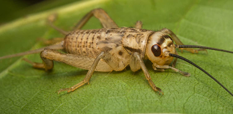 cricket-on-leaf-feature-750x369.jpg