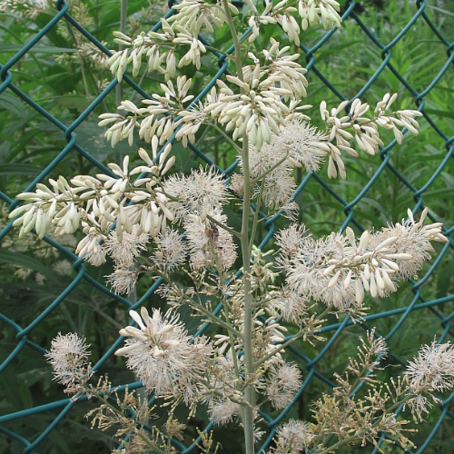 Macleaya cordata - Pluimpapaver  Hoogte: 200 - 250 cm  Kleur: Wit  Wintergroen: Nee  Bloeiperiode: Juli - Augustus