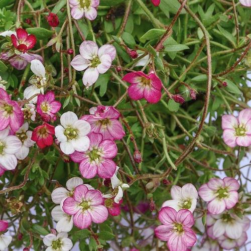 Saxinifraga hirsuta - Steenbreek  Hoogte: 10 - 15 cm  Kleur: Wit/Roze  Wintergroen: Ja  Bloeiperiode: Mei - Juni