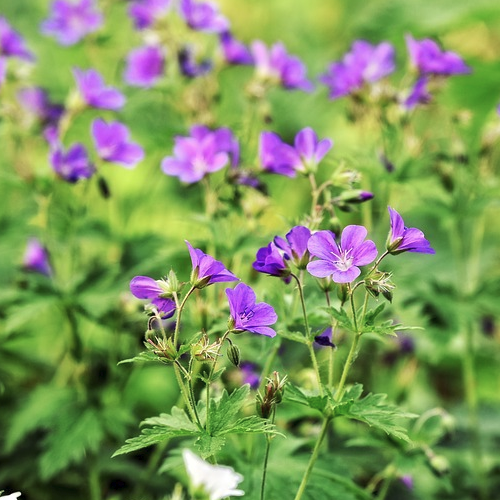 Geranium - Ooievaars bek  Hoogte: 20 - 60 cm  Kleur: Meerdere Mogelijkheden  Wintergroen: Half  Bloeiperiode: Mei - Juli