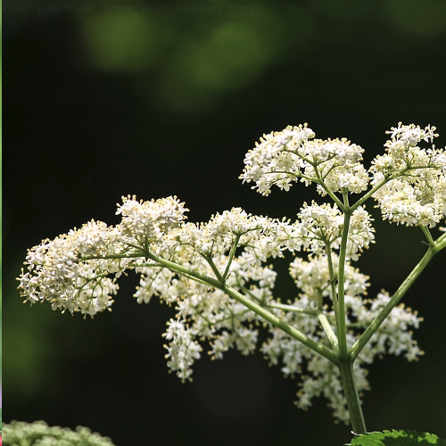 Sambucus - Vlier  Hoogte: 100 - 400 cm  Kleur: Wit/Roze  Wintergroen: Nee  Bloeiperiode: Mei - Juni