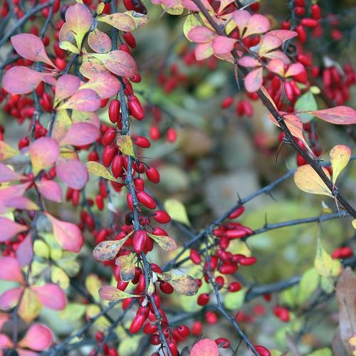 Berberis - Zuurbes  Hoogte: 50 - 150 cm  Kleur: Geel  Wintergroen: Ja  Bloeiperiode: April - Mei