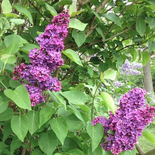 Syringa vulgaris – Sering  Hoogte: 100 - 600 cm  Kleur: Meerdere mogelijkheden  Wintergroen: Nee  Bloeiperiode: Mei - Juni