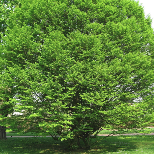 Carpinus betulus 'Fastigiata' – Haagbeuk  Hoogte: 15 - 18 m  Kleur: Geel / groen  Wintergroen: Nee  Bloeiperiode: April
