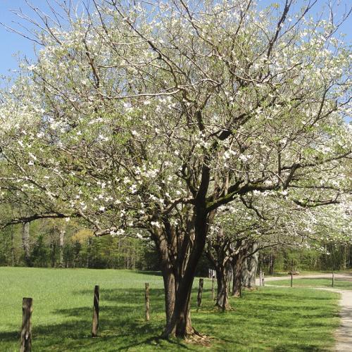 Cornus - Kornoelje  Hoogte: 4 - 8 m  Kleur: Meerdere kleuren mogelijk  Wintergroen: Nee  Bloeiperiode: April - Mei