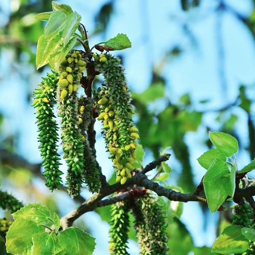 Populus tremula - Ratelpopulier  Hoogte: 30 - 35 m  Kleur: Niet van toepassing  Wintergroen: Nee  Bloeiperiode: Mei