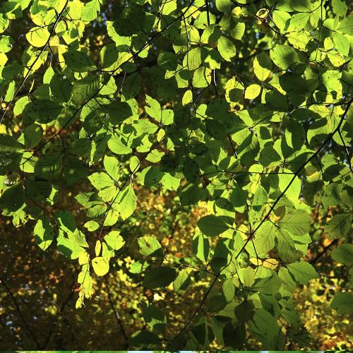 Fagus - Beuk  Hoogte: 25 - 30 m  Kleur: Niet van toepassing  Wintergroen: Nee  Bloeiperiode: Niet van toepassing