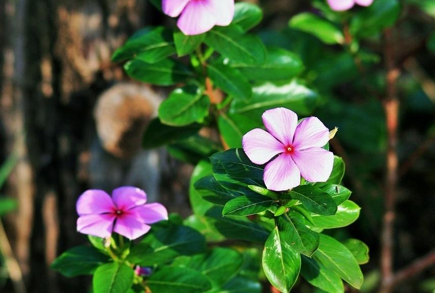 Vinca minor - Maagdenpalm  Hoogte: 15 - 25 cm  Kleur: Paars  Wintergroen: Ja  Bloeiperiode: Februari - Mei