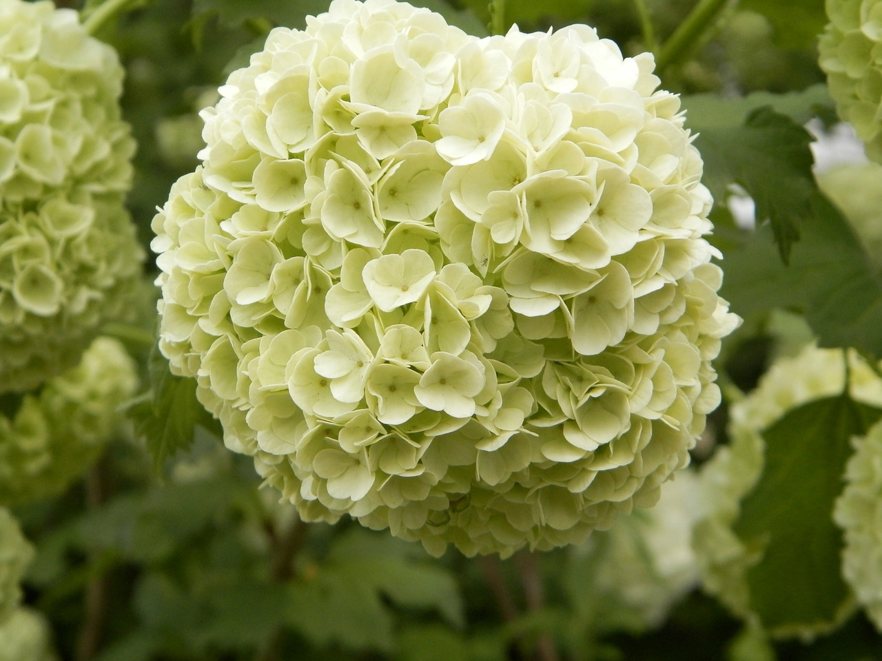 Viburnum - Sneeuwbal  Hoogte: 50 - 70 cm  Kleur: Wit  Wintergroen: Ja  Bloeiperiode: April - Juni
