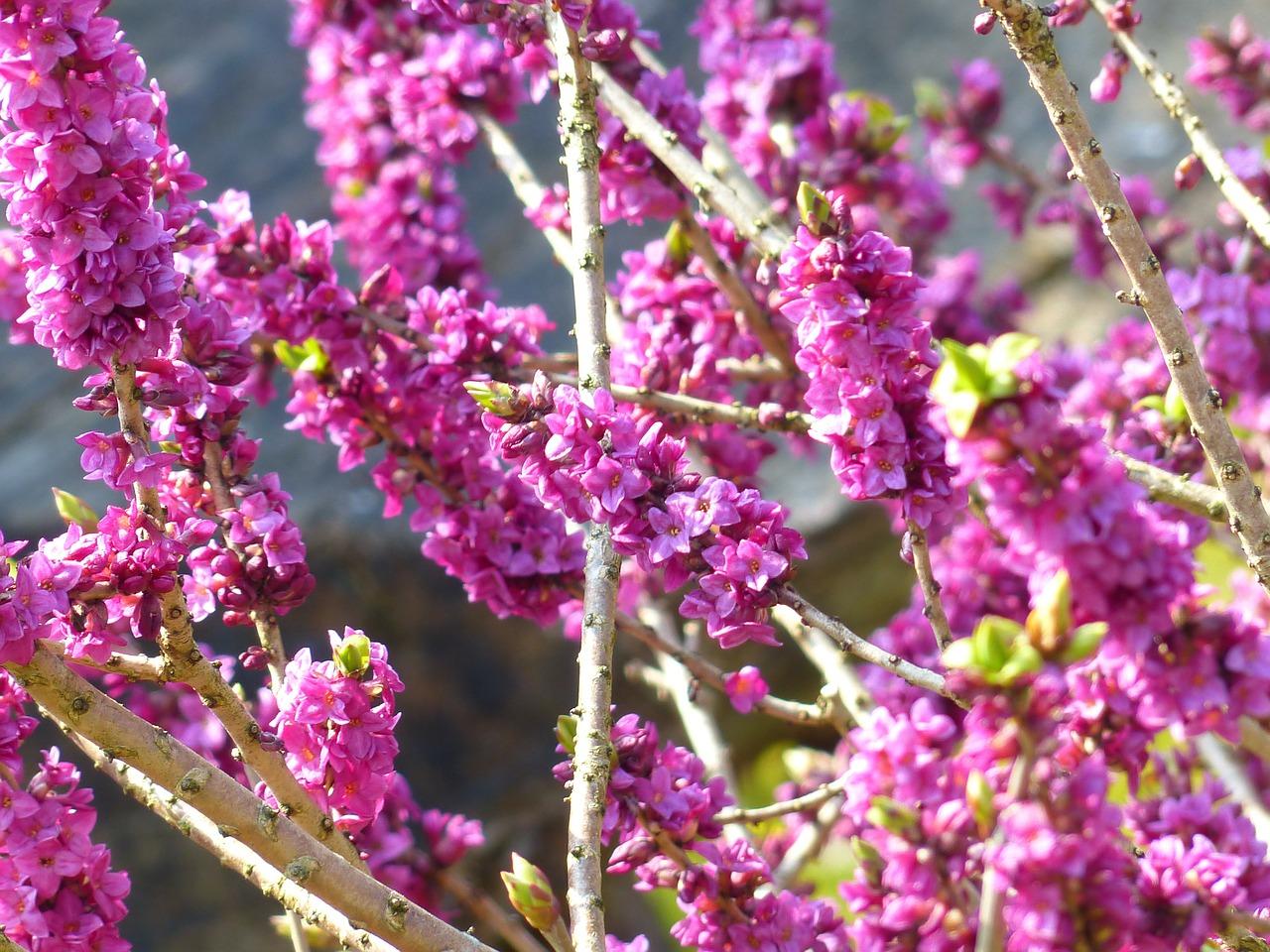 Daphne mezereum - Peperboompje  Hoogte: 80 - 120 cm  Kleur: Paars  Wintergroen: Nee  Bloeiperiode: April - September