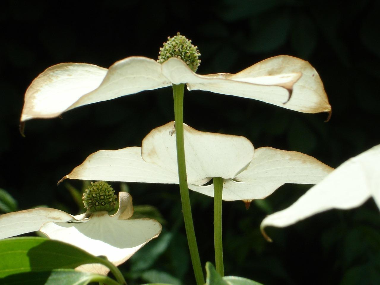 Cornus kousa - Japanse kornoelje  Hoogte: 200 - 700 cm  Kleur: Wit  Wintergroen: Nee  Bloeiperiode: April - Oktober
