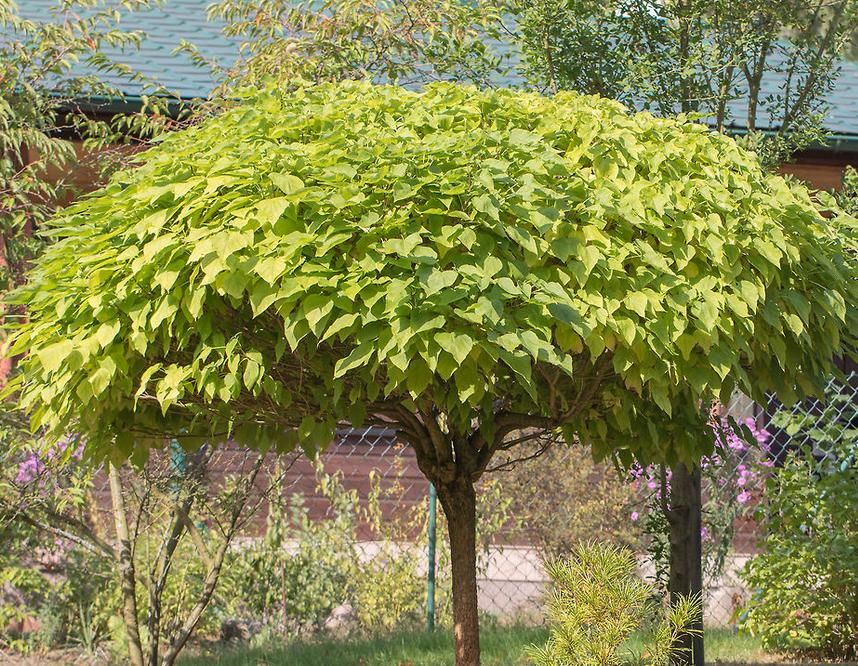 Catalpa bignonoides 'nana' - Trompetboom  Hoogte: 2 - 3 m  Kleur: Geel  Wintergroen: Nee  Bloeiperiode: April - Juni