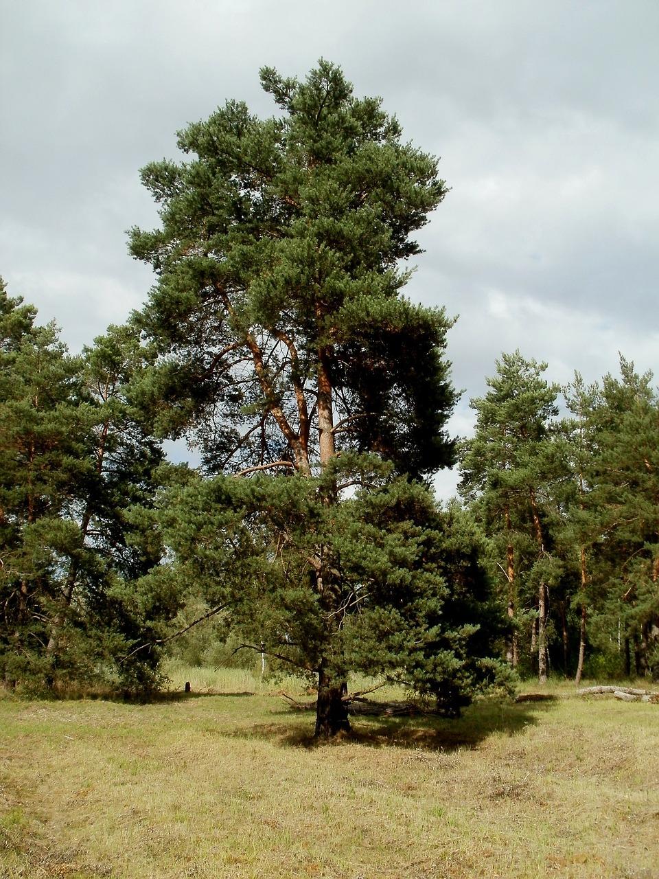 Pinus sylvestris - Vliegden  Hoogte: 10 - 30 m  Kleur: Niet van toepassing  Wintergroen: Ja  Bloeiperiode: Niet van toepassing