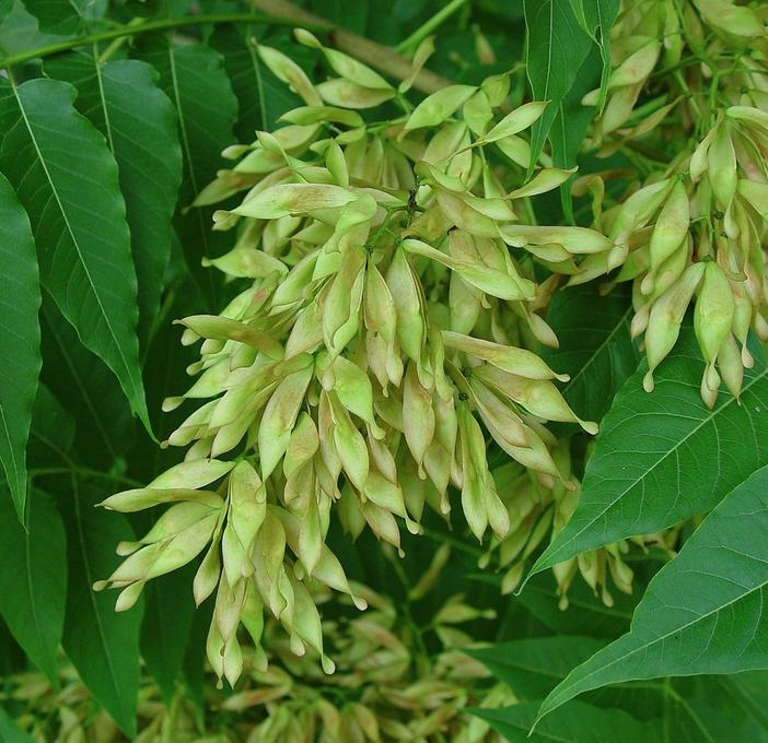 Ailanthus altissima - Hemelboom  Hoogte: 20 - 25 m  Kleur: Wit  Wintergroen: Nee  Bloeiperiode: Juni - Augustus