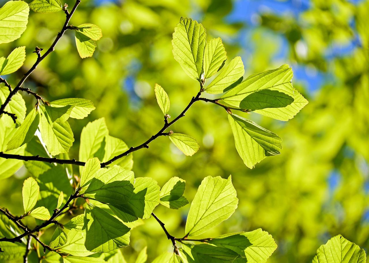 Parrotia persica - IJzerboom  Hoogte: 7 - 10 m  Kleur: Rood  Wintergroen: Nee  Bloeiperiode: Februari - Maart