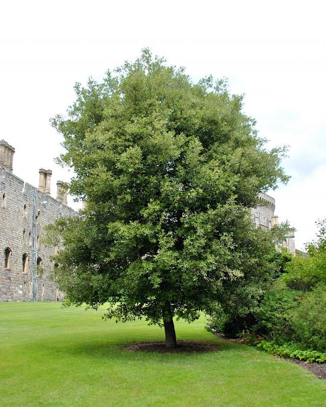 Quercus ilex - Steeneik  Hoogte: 10 - 15 m  Kleur: Geel  Wintergroen: Ja  Bloeiperiode: Mei