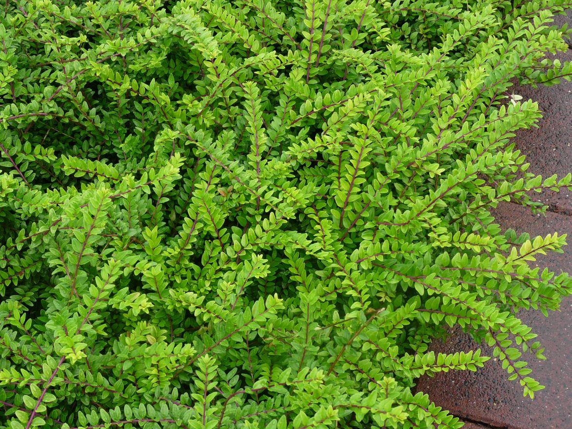 Lonicer nitida - Struikkamperfoelie  Hoogte: 50 -100 cm  Kleur: Wit  Wintergroen: Ja  Bloeiperiode: April - Mei